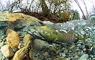 Chum Salmon (spawning pair)<br /> <br /> Paul Vecsei/Engbretson Underwater Photography