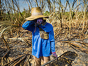 24 JANUARY 2017 - PHRA THAEN, KANCHANABURI, THAILAND: A sugarcane worker wipes sweat from his eyes in a cane field in Phra Thaen. Thai government  officials recently announced that they plan to float sugar prices later this year or early in 2018. Wholesale prices are currently set by the Cane and Sugar Board, a part of the Industry Ministry, while the Commerce Ministry sets the retail price. Thailand has fixed retail prices of sugar to guarantee a profit for farmers. Thailand is the world's leading exporter of sugar, after Brazil. Thai sugar production is expected to drop by more than three percent because of the lingering drought that crippled agriculture through 2015 and 2016.    PHOTO BY JACK KURTZ