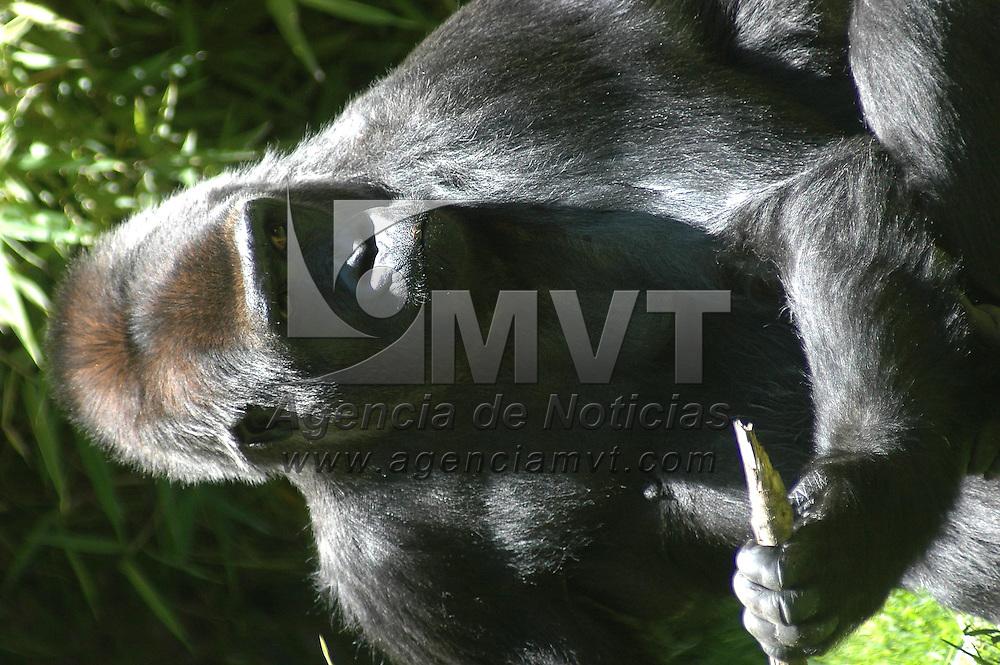 """Toluca, Méx.- La gorila """"Arila"""" sera trasladada del zoologico de Zacango al de Chapultepec en la ciudad de Mexico para aparearse y dar continuidad a la especie dentro de un programa de conservacion. Agencia MVT / Hernan Vazquez E. (DIGITAL)<br /> <br /> NO ARCHIVAR - NO ARCHIVE"""