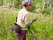 A Hmong woman checking her rice whilst harvesting 'khao kam' (brown sticky rice) in the village of Ban Chalern, Phongsaly province, Lao PDR. Slash and burn cultivation or 'hai' in Lao PDR consists of cutting the natural vegetation, leaving it to dry and then burning it for temporary cropping of the land, the ash acting as a natural fertiliser. Shifting cultivation practices, although remarkably sustainable and adapted to their environment in the past, have come under increasing stress in recent decades and are now starting to be a major problem in Lao PDR, causing widespread deforestation and watershed degradation. The remote and roadless village of Ban Chalern is situated along  Nam Ou river and will be relocated due to the construction of the Nam Ou Cascade Hydropower Project Dam 7.