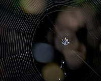 Crab Spideer and Web. Weedon Island Nature Preserve, Pinellas County, Florida. Image taken with a Nikon D300 camera and 80-400 mm VR lens (ISO 200, 200 mm, f/5.3, 1/500 sec)