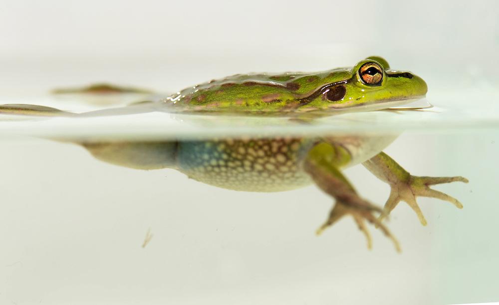 Green Bell Frog, Litoria aurea