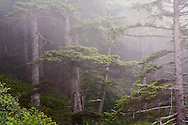 foggy coastline with fir trees