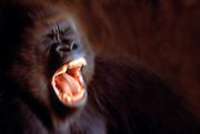 Image of a screaming gorilla (gorilla gorilla) close up  (photo-illustration) by Randy Wells