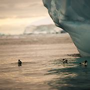 Three Cape Petrels (Daption capense) float on the water under the overhang of an iceberg in Curtis Bay on the Antarctic Peninsula as the setting sun gets low on the horizon in the distance.