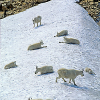 ROCKY MOUNTAIN GOATS (Oreamnos americanus) relax in snowfield below Mount Gould in Glacier National Park, Montana.