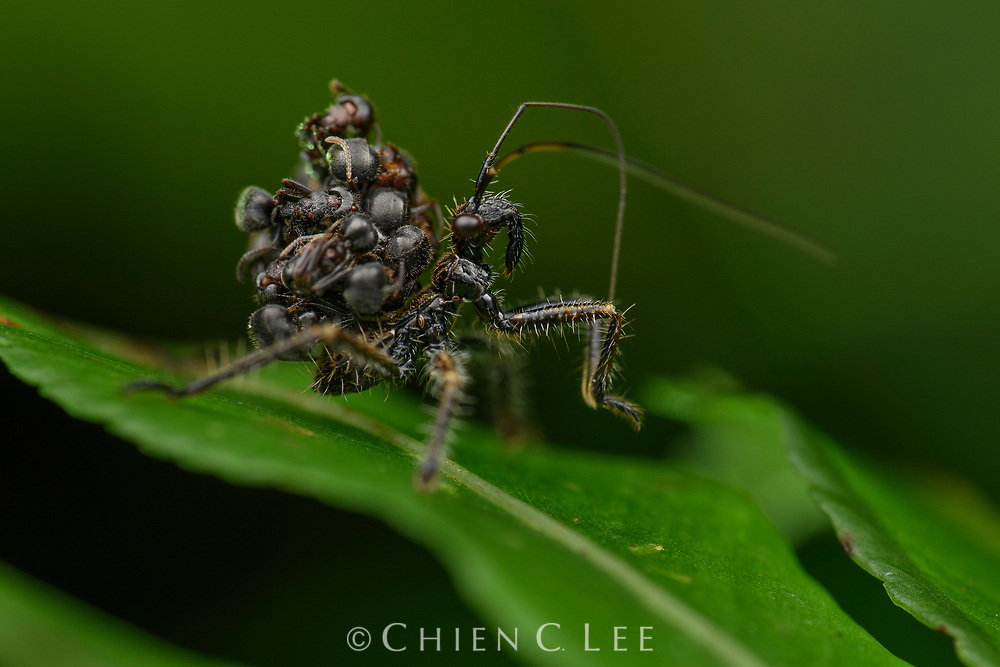 Ant assassin bug (Inara flavopicta), nymph with ant carcasses glued to its back for concealment. Sarawak, Malaysia (Borneo).