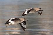 Pair of Willets landing.(Catoptrophorus semipalmatus).Back Bay Reserve,California