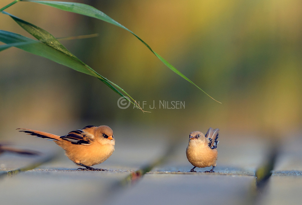 Pair of juvenile bearded tits (Panurus biarmicus) from Vejlerne, northern Denmark in August 2021.