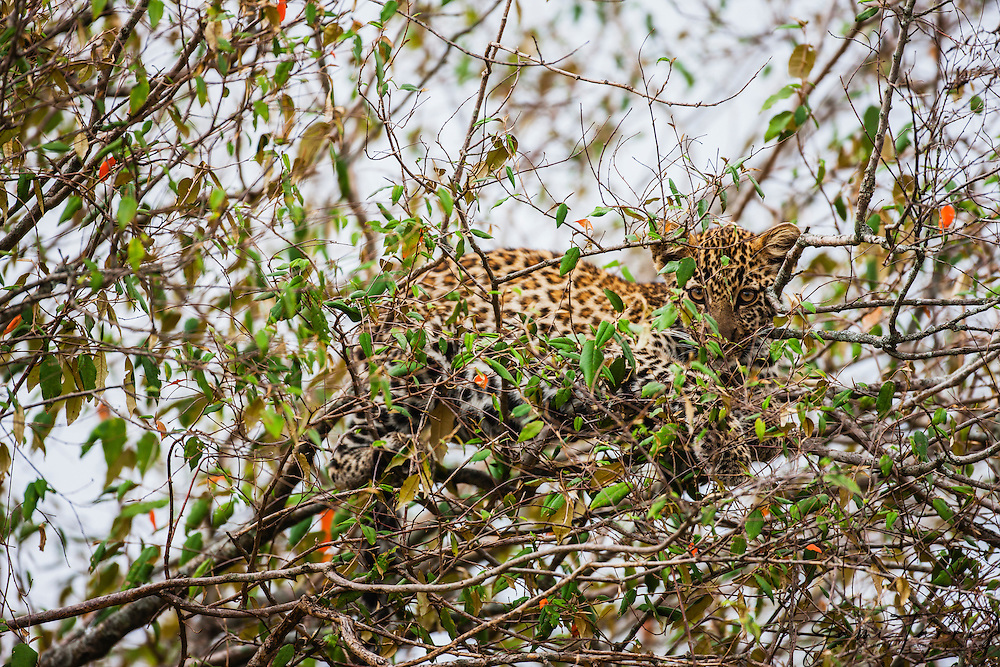 A leopard  cub (Panthera pardus) hiding in the branches of a tree waits for his mother to return from hunting,Masai Mara,Kenya,Africa