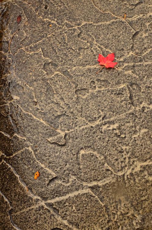 Maple leaf on rock slab, Southern Utah.