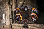 Konyak Naga head trophy basket<br /> Decorated with gibbon and monkey skulls<br /> Konyak Naga headhunting Tribe<br /> Mon district<br /> Nagaland,  ne India