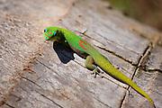 Giant Madagascan day gecko (Phelsuma madagascariensis grandis) looks at the photographer.