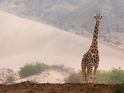 A desert-adapted southern giraffe (Giraffa giraffa) standing in front of a sand dune in the Hoanib river bed,Skeleton Coast, Namibia