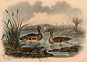 Mallard duck (Anas platyrhynchos) on water among reeds. From an early nineteenth century coloured lithograph.