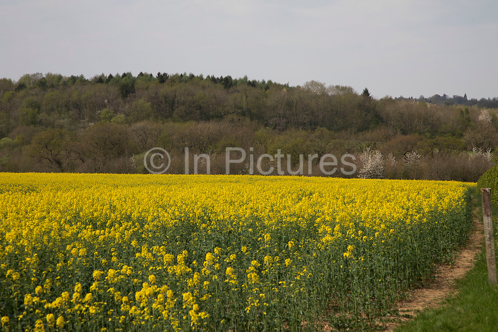 Oil Seed Rape crops flowering in fields near Shipbourne, England, United Kingdom. Also known as Rape Seed Oil, this beautiful yellow crop blooms in spring and summer and produces a delicious oil.