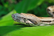Close up of a boa constrictor