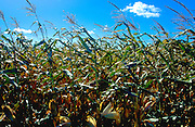 Field of corn.  Northfield Minnesota USA