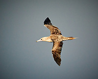 Brown Booby in flight. Image taken with a Nikon N1V3 camera and 70-300 mm VR lens (ISO 900, 250 mm, f/5.6, 1/2000 sec).