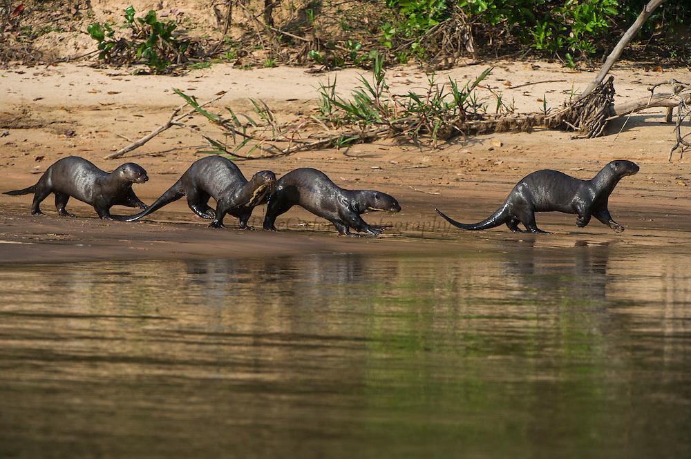 Giant Otter (Pteronura brasiliensis)<br /> Northern Pantanal<br /> Mato Grosso<br /> Brazil
