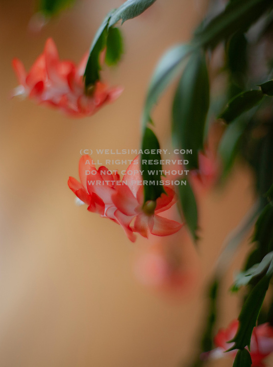 Image detail of a flowering Christmas cactus plant by Randy Wells