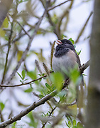 An Oregon Junco, a race of the Dark-eyed Junco, sings from a red alder branch along the pond's edge at Magnuson Park in Seattle.