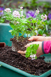 Potting up cuttings of scented leaved Pelargonium 'Attar of Roses' AGM - separating before putting into individual pots