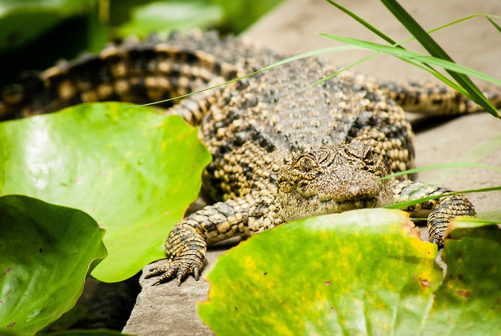 Young crocodile basks in the sun