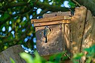 Blue-tit at nest-box