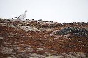 A female rock ptarmigan (Lagopus muta) on Thompson Pass, in the Chugach Mountains near Valdez, Alaska.