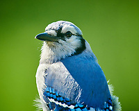 Blue Jay. Image taken with a Nikon D850 camera and 600 mm f/4 VR lens with a 2.0x TC-EIII teleconverter.