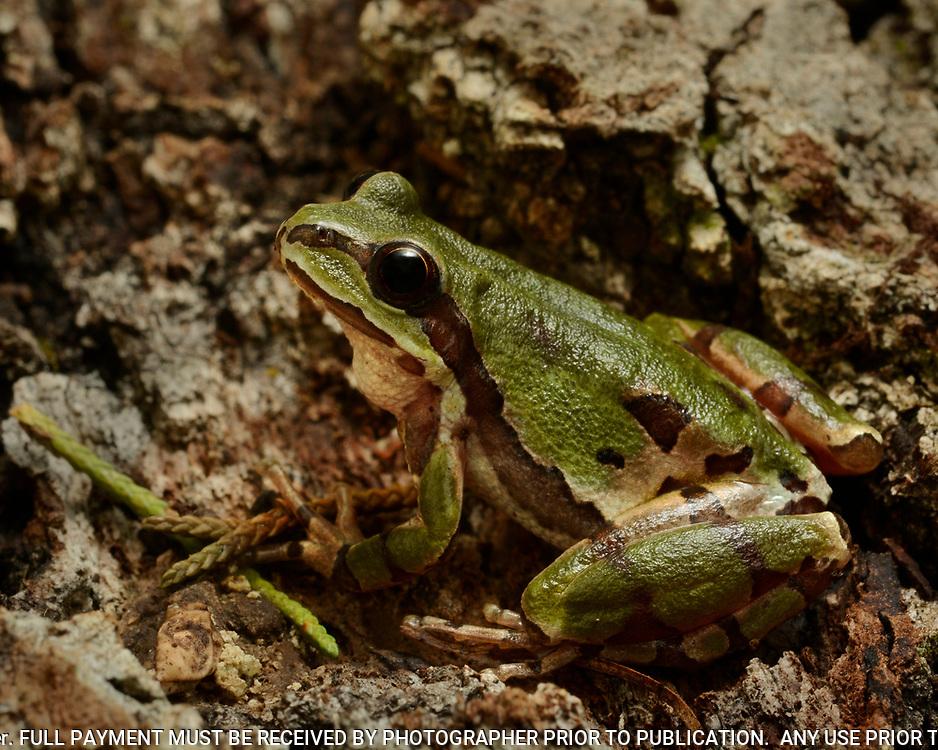 Arizona Treefrog, Hyla wrightorum,  Mesa Tres Rios, Sonora, Mexico