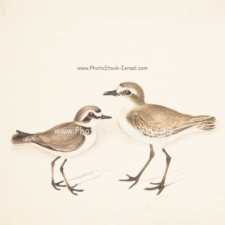 Temminck's stint (Calidris temminckii) and Little stint (Calidris minuta). 18th century watercolor painting by Elizabeth Gwillim. Lady Elizabeth Symonds Gwillim (21 April 1763 – 21 December 1807) was an artist married to Sir Henry Gwillim, Puisne Judge at the Madras high court until 1808. Lady Gwillim painted a series of about 200 watercolours of Indian birds. Produced about 20 years before John James Audubon, her work has been acclaimed for its accuracy and natural postures as they were drawn from observations of the birds in life. She also painted fishes and flowers. McGill University Library and Archives