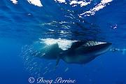 Bryde's whale, Balaenoptera brydei or Balaenoptera edeni, feeding on baitball of sardines, Sardinops sagax, off Baja California, Mexico ( Eastern Pacific Ocean ) - note sardine inside closing mouth; #5 in series of 6