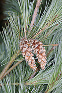 Weymouth Pine Pinus strobus (Pinaceae) HEIGHT to 32m <br /> Mature tree has tapering trunk and rounded crown. BARK Dark grey. BRANCHES Level. LEAVES Blue-green needles; note tuft of hairs below each 10cm-long bunch of 5 needles. REPRODUCTIVE PARTS Slender cones; basal scales often curve outwards. STATUS AND DISTRIBUTION Native of N America, planted here mainly for timber.