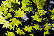 Fresh green maple leaves are backlit by the morning sun, Glacier Peak Wilderness, Washington.