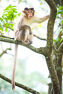 Monkey, Munnar, Western Ghats Mountains, Kerala, India