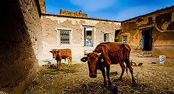 Cattle and chickens in a ruined, but still occupied,  kasbah near  Tazenakht, southern Morocco, Africa<br /> <br /> (c) Andrew Wilson   Edinburgh Elite media