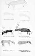 Bushmen (san) rock painting of antelopes and animals. painted on the walls of caves From the book '  Specimens of Bushman folklore ' by Bleek, W. H. I. (Wilhelm Heinrich Immanuel), Lloyd, Lucy Catherine, Theal, George McCall, 1837-1919 Published in London by  G. Allen & Company, ltd. in 1911. The San peoples (also Saan), or Bushmen, are members of various Khoe, Tuu, or Kx'a-speaking indigenous hunter-gatherer groups that are the first nations of Southern Africa, and whose territories span Botswana, Namibia, Angola, Zambia, Zimbabwe, Lesotho and South Africa.