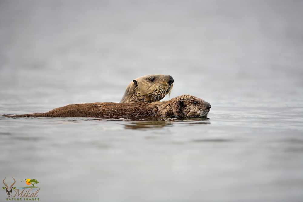 mother otter swimming with pup