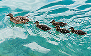 A mother duck leads four cute ducklings on the rippled turquoise waters of Lake Bled, Slovenia, Europe. The town of Bled and glacially formed Lake Bled (Slovene: Blejsko jezero) are popular tourist sites in the Julian Alps in northwestern Slovenia. Lake Bled hosted the World Rowing Championships in 1966, 1979, 1989, and 2011.
