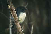 South Island robin Petroica australis, The Southern Circuit, Stewart Island / Rakiura, New Zealand Ⓒ Davis Ulands | davisulands.com