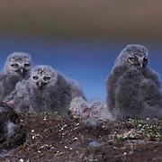 Snowy Owl, (Nyctea scandiaca) Chicks on nest. Barrow, Alaska.