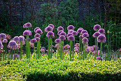 Allium 'Jackpot' growing in the trials bed at Parham House