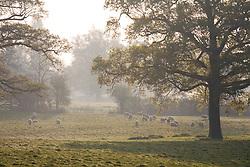 Sheep on the Sissinghurst Castle estate