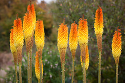 Kniphofia 'Frances Victoria'. Red hot poker