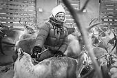 Southsami reindeer herding B&W