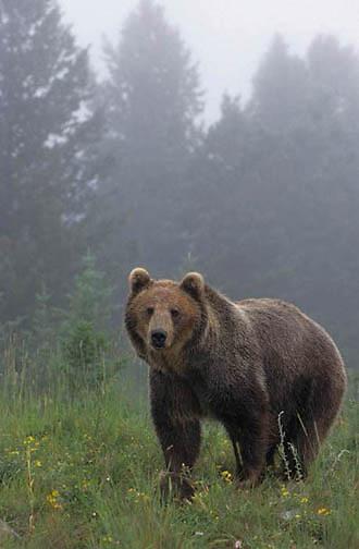 Grizzly Bear, (Ursus horribilis) Montana. Grizzly bear in fog.   Captive Animal.