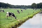 Nederland, Horssen, 11-8-2013Zwartbont koeien staan te grazen in een weiland.Foto: Flip Franssen/Hollandse Hoogte