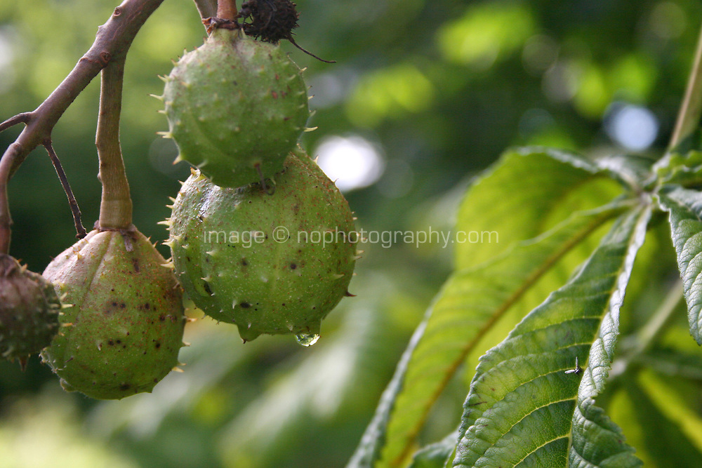 Close up of horse-chestnut tree conkers in Ireland